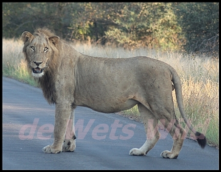 Bobbejaankrans lion