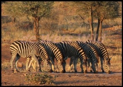 Drinking zebra