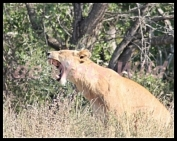 Roodewal lioness