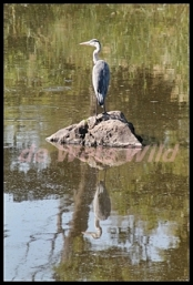 Sweni heron