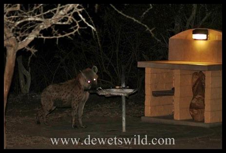Hyena in Mpila