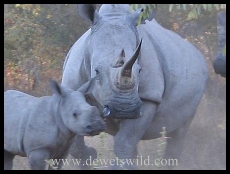White Rhino Borakalalo Game Reserve