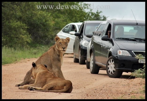 Lions meet Tourists, Kruger National Park