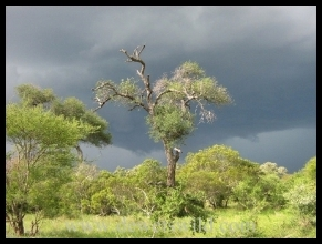 Looming thunderstorm over the plains of the central Kruger National Park