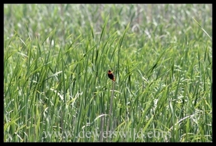 a Red Bishop in a reed bed in the Moreletakloof