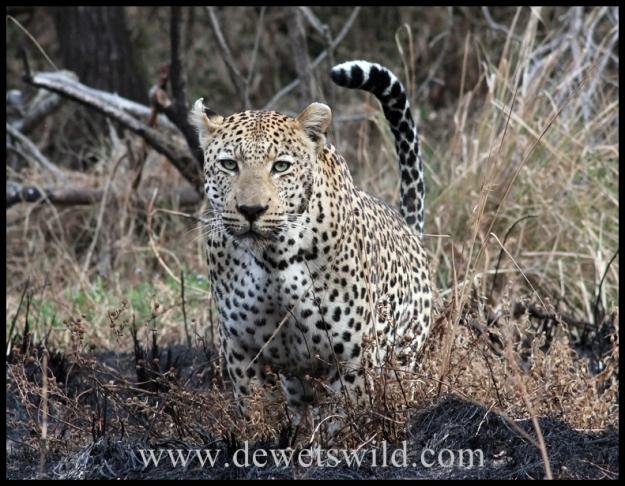 Leopard near Skukuza, Kruger Park