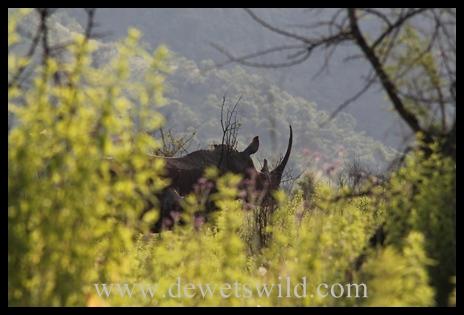 White rhinoceros (Ithala)