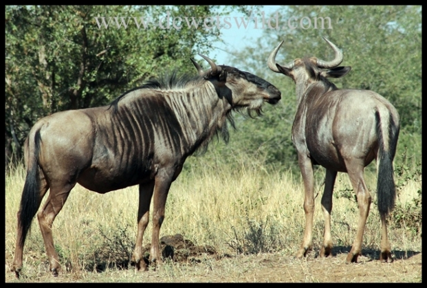 Wildebeest whisper