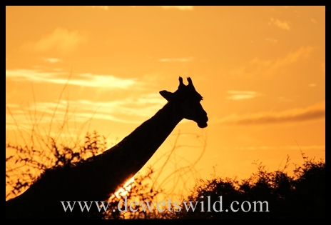 Giraffe at sunrise, near Lower Sabie in the Kruger National Park, South Africa