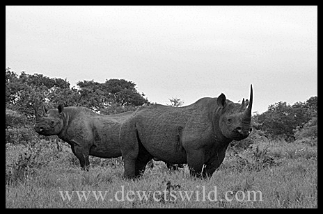 1B&W_BlackRhino