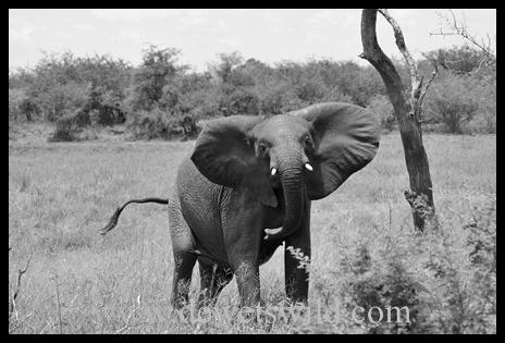 B&W_Elephant