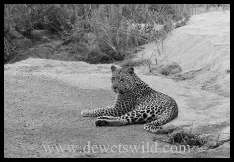 B&W_Leopard