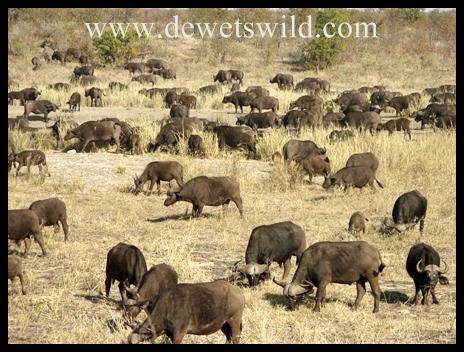Letaba_buffalo