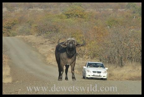 Letaba_buffalo2
