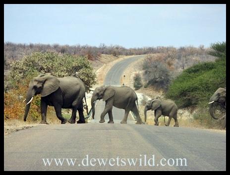 Letaba_elephants1