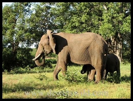 Letaba_elephants2