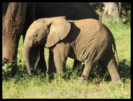 Letaba_elephants3