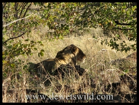 Letaba_lioness