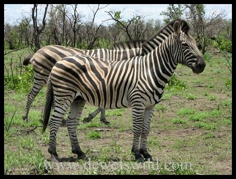 Letaba_zebra