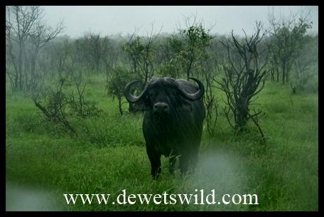 Mopani_buffalo