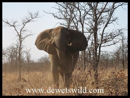 Mopani_charging elephant