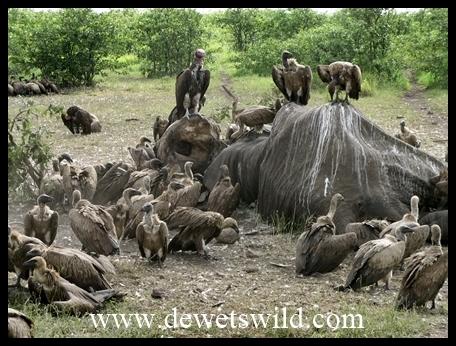 Mopani_elephant carcass