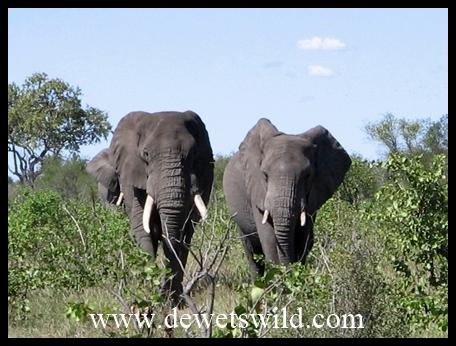 Mopani_elephant procession