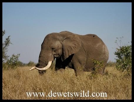 Mopani_elephantbull