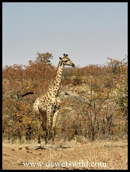 Mopani_giraffe