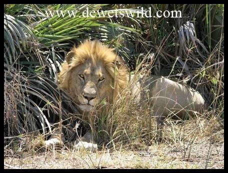 Mopani_lion