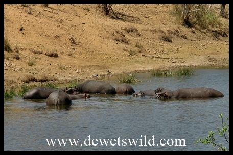 Mopani_Shipandani_hippos