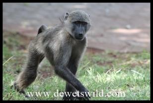 Baboons regularly visit the resort