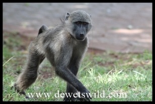 Baboons regularly visit the resort