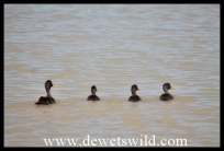 Yelow-billed Ducks