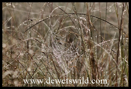 Dewy spider's web