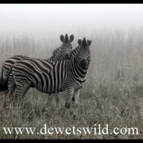 Zebras in the mist
