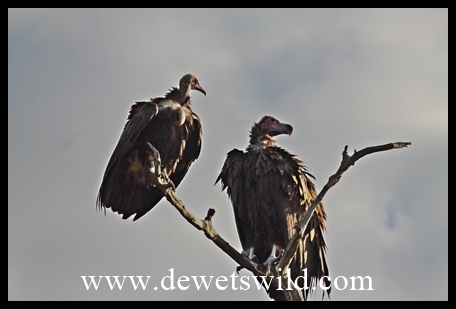 Hooded (left) and Lappet-faced (right) Vultures