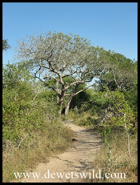 Pathway in Tembe Elephant Lodge