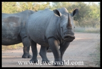 Rhino roadblock - pity we don't understand what he's saying!