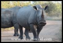 Rhino roadblock - pity we don't understand what he's saying!