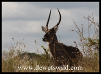 Waterbuck at Shitlhave Dam near Pretoriuskop