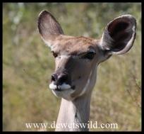 Kudu couw