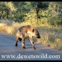 Spotted hyena on the lookout for breakfast