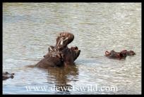 Hippos at Ntandanyathi Hide