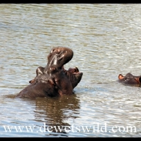 Hippos at Ntandanyathi Hide