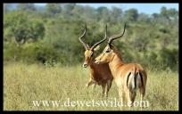 Impala sizing up one another