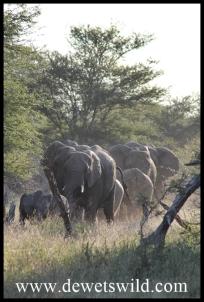 Elephant herd on the move
