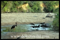 A flock of storks catching fish trapped in a small pool
