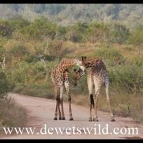 Young giraffe bulls sparring