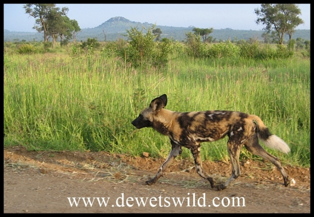 Wild Dog on the move